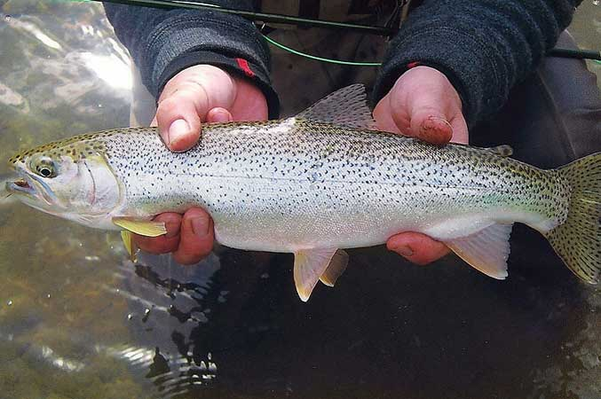 Cutthroat Trout Fly Fishing