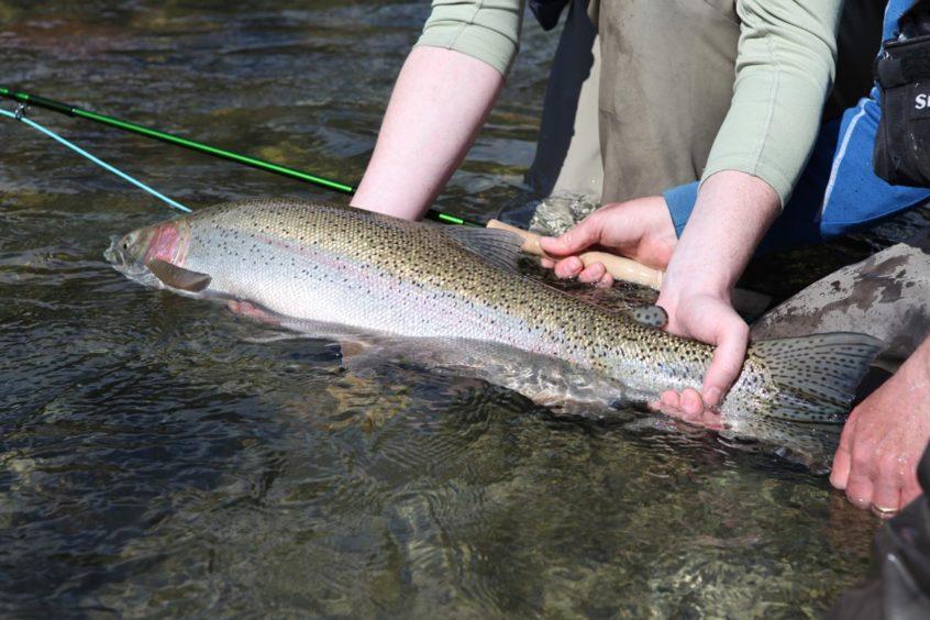 Large Squamish River Steelhead