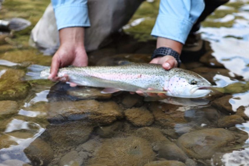 dry fly rainbow in Squamish