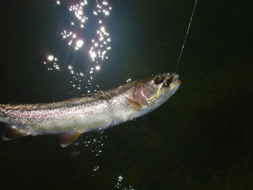 Rainbow trout fly fishing in B.C.