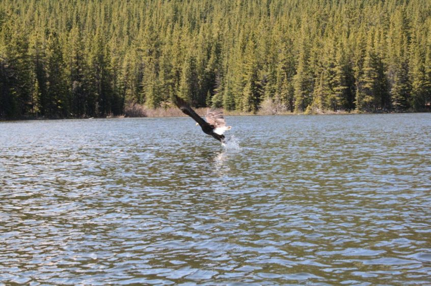 Eagle taking flight in Spruce Lake Protected Area, B.C.