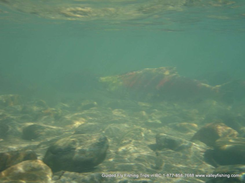 Salmon near Whistler