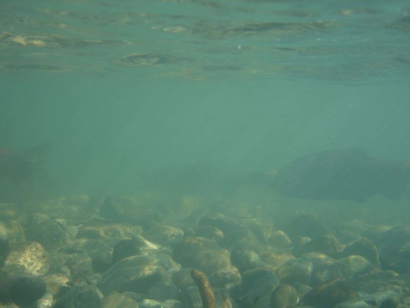 Sockeye Salmon in Birkenhead River