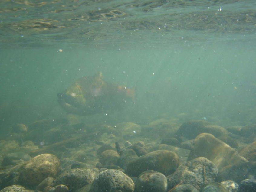 Whistler Salmon