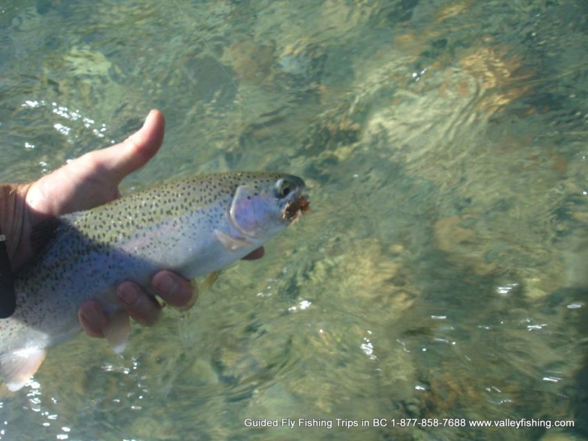 dry fly fishing for rainbow trout in Whistler