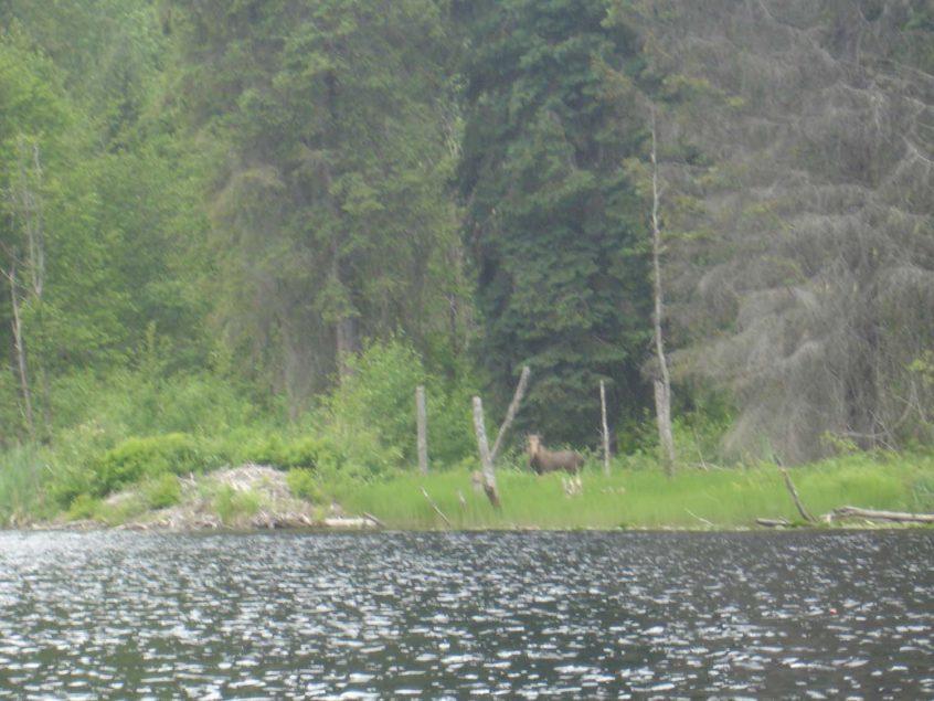 Moose near Whistler BC