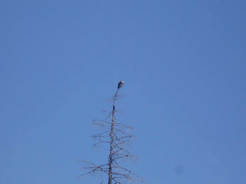 Whistler Osprey