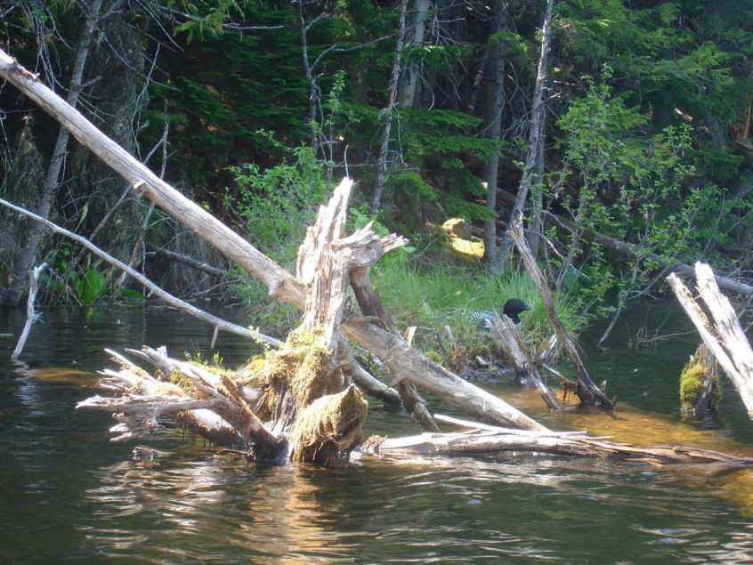 Loon on a Nest