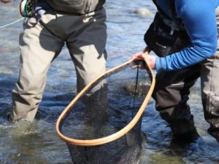 Steelhead in a net
