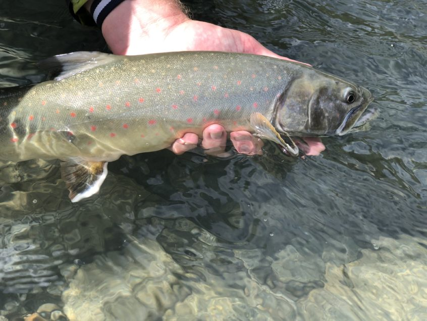 Pink dots on a bull trout from Squamish